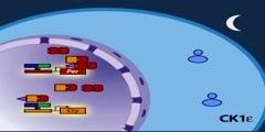 The mammalian molecular clock model part 2