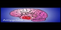 The Amygdala  the cause of all your anxiety Video