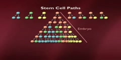 Adult Stem Cells and Regeneration part 4 of 20