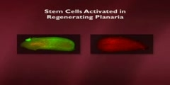 Adult Stem Cells and Regeneration part 5 of 20
