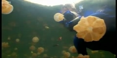 Sting? Snorkeling with golden jellyfish