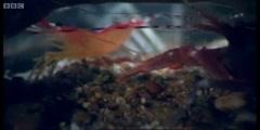 Weird Nature; Pistol Shrimp sonic weapon
