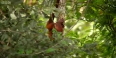 Guyana's Red howler monkeys