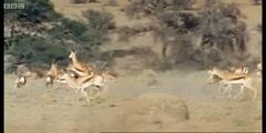 The cheetahs versus the springboks antelopes