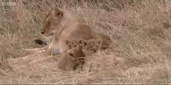 Meet Tamu and  her four lion cubs