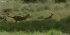 Young antelope attacked by cheetahs