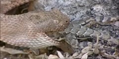Lizard getting eaten by a rattlesnake