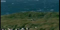 The largest Albatross colony