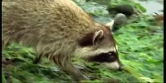 The rock crab eating Raccoon
