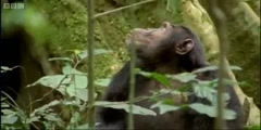 The hunting  of Ugandan chimps
