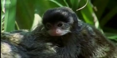The Emperor Tamarin Dysfunctional families