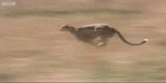Big Cat Diary the Cheetah hunts the gazelle