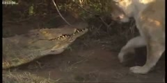 Lions vs Crocodiles - Big Cat Diary - BBC Earth