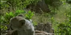 Cheetah cubs versus Rhino