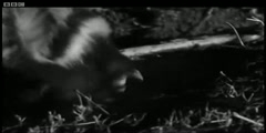 Skunk (Zorillo) vs Snake - Cats Under the Serengeti Stars - BBC