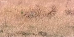 BBC's  big cat  diary the  cheetah hunts gazelle -