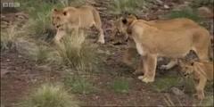 Namibian desert Lions