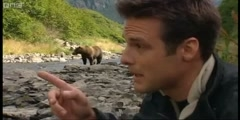 A salmon fishing  grizzly bear, Deep into the Wild