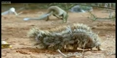 Cape Cobra teased by Ground Squirrels  in Wild Africa