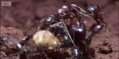 Driver Ants versus a grasshopper