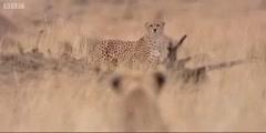 Big Cat Diary's Lioness vs Cheetah