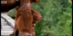 Amazing DIY Orangutans with Attenborough