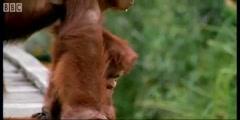 Amazing DIY Orangutans with Attenborough