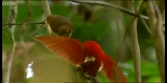 Wild Indonesia's Dancing birds of paradise