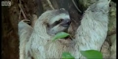 Saying Boo to a Sloth!  BBC Earth