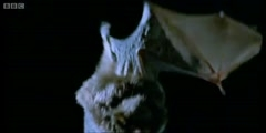 Top Bat covers bats hunting their prey