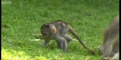 Cheeky Monkey's cute baby monkeys at play by BBC