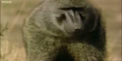 A Be An Animal a baboon stalks a baby gazelle  BBC