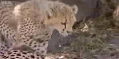 Big Cat Diary  Cheetah cubs playing by BBC