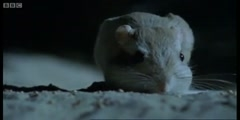 The Kangaroo Rat's aggressive nightlife by BBC