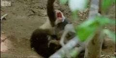 Clever Monkeys the fighting monkeys