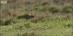 Zebra attaked by Cheetah in Cheetahs by BBC Earth
