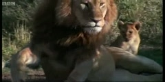Parenting  Lions and the Lioness strike in Spy in the Den by BBC