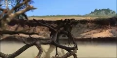 Elephants and crocodiles attack Lion cubs in BBC Earth