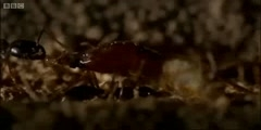Ant Attack , defending the ant nest from intruders in BBC