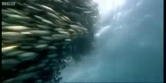 Blue Planet's Fish bait ball in open water by BBC