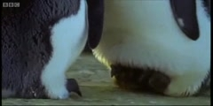 The Greatest Wildlife Show on Earth features the mperor penguins in BBC