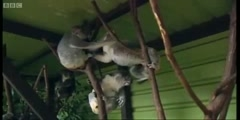 Making Animal Babies the Koala breeding at an Australian zoo by BBC