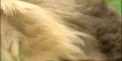 Extreme Animals, attacked by a lion in BBC Earth