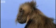 Clever Monkeys defending a monkey harem in BBC Earth
