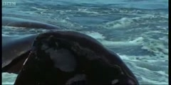 Life of Mammals the breeding southern right Whales with Attenborough in BBC