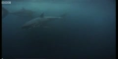 Wildlife Specials the Great White shark feeding