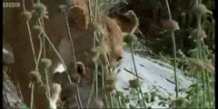 Spy in the Den Lions in danger in the Wild