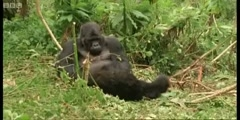 Cousins series featuring the Family of Mountain Gorillas