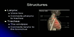 Structure and functions of respiratory system