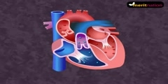 Cycle of the cardiac vascular system